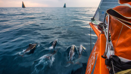 June 8, 2015. Leg 8 to Lorient onboard Team Alvimedica. Day 1. A group of Portuguese dolphin blow off some early morning energy in the water between Alvimedica, Brunel, and Abu Dhabi. A tricky night of choices, most notably whether to sail north inshore along the coast or further offshore to the west, was made tougher by persistently light conditions and clouds. Amory Ross / Team Alvimedica / Volvo Ocean Race